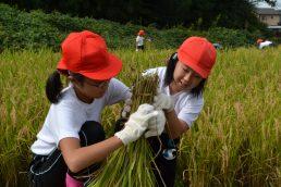 稲津小5年生が稲刈りをしました。
