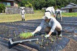 粟の観察日記3 定植