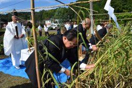 粟の観察日記 ⑪ 刈り取り