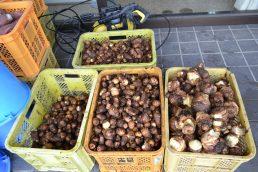 いいなっつ農園産 コロコロ里芋もさっぱりとシャワー浴びました