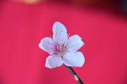 桃の花がお祝いしています🌸
