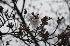 3月27日はさくらの日 公民館も開花宣言 🌸