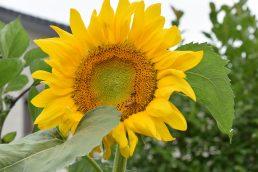 消器庫横の向日葵🌻