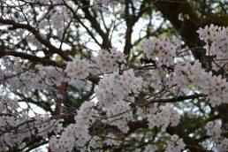 桜 咲く!